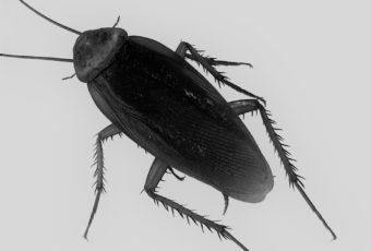 Extermination de blattes à Montréal