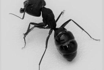 Extermination de fourmis à Montréal