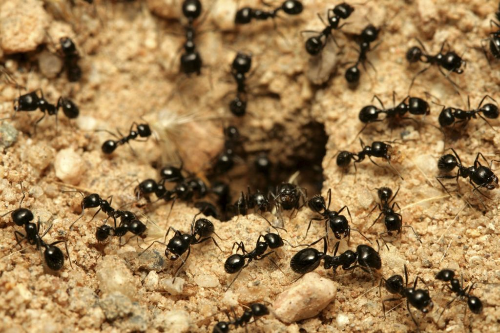 fourmis charpentieres