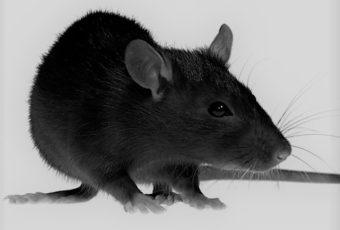 Extermination de rats à Montréal
