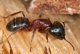 fourmi charpentiere