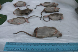 rats ahuntsic
