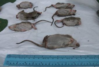 rats ahunstic